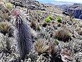 Giant lobelia and senecio plants.jpg