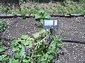Giardino botanico di Brera (Milan 18.jpg