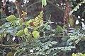 Gila3(Caesalpinia Bonducella).jpg