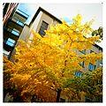 Ginkgo biloba en automne.jpg