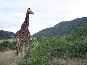 ♂ Giraffa camelopardalis giraffa Afrikaans: Ka...