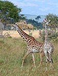 Giraffes Mikumi National Park.jpg