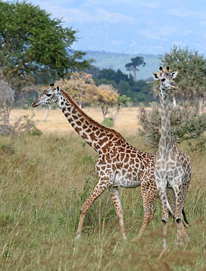 Masai giraffe - Image: Giraffes Mikumi National Park