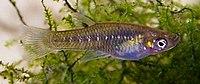Girardinus microdactylus 01