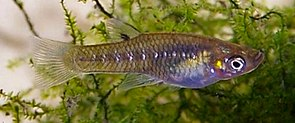 Girardinus microdactylus
