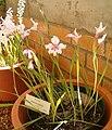 Gladiolus carneus KirstenboshBotGard09292010B.jpg