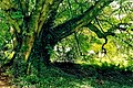 Glebe House Grounds - Awesome tree - geograph.org.uk - 1328808.jpg