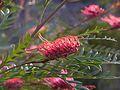Glen Forrest grevillea cultivar.jpg