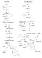 Glicolise-gliconeogenese.png