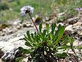 Globularia cordifolia sl2.jpg