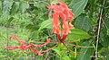 Gloriosa superba at Madikai Ambalathukara ofKasaragod.jpg