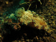 Glossodoris cincta at Lembeh strait.JPG