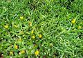Glottiphyllum cruciatum - Kirstenbosch 8.jpg