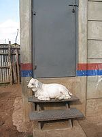 Goat lying on the stairs of a urine-diverting dry toilet (UDDT) in low-income area Bulbul near Nairobi, Kenya (10543178836).jpg