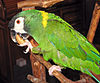 Golden-collared Macaw 041