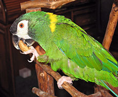 Golden-collared Macaw 041.jpg