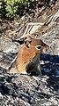 Golden-mantled ground squirrel Grand Teton NP.jpg