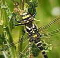 Golden-ringed Dragonfly. Cordulegaster boltonii, female (49268234341).jpg