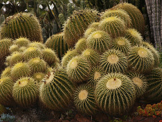 Huntington Desert Garden - Image: Golden Barrel cactus, Huntington Desert Garden