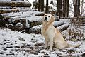 Golden Retriever Carlos im Schnee (10577897254).jpg