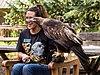Golden eagle at ACES (11738).jpg
