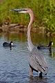 Goliath Heron, Ardea goliath at Marievale Nature Reserve, Gauteng, South Africa (44774363794).jpg