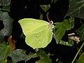 Gonepteryx rhamni Ledro.jpg