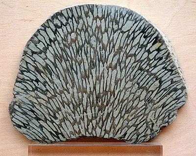 Fossil korall från Gotland