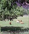 GraftonGhostTown Cows 8-07 (8509815167).jpg