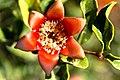 Granatäpple-0595 - Flickr - Ragnhild & Neil Crawford.jpg