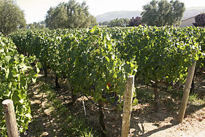 English: Grape Vineyard at Robert Mondavi Vine...