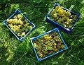 Grape harvest in Chateaux Luna vineyard 1.jpg