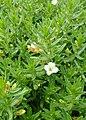 Gratiola officinalis kz10.jpg