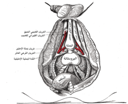 The deeper branches of the شريان فرجي غائر. (Dorsal artery of penis labeled at upper right.)