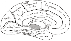 Flashback (psychology) - Mid Sagittal cut of human brain