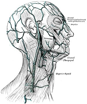 external veins as well as some of the musculature of the head