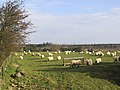 Grazing sheep - geograph.org.uk - 367021.jpg