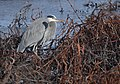 Great Blue Heron (31409320013).jpg