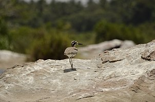 Great thick-knee (Esacus recurvirostris) from Ranganathittu Bird Sanctuary JEG4078.jpg