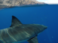 Great white shark at Isla Guadalupe, Mexico. Shark cage diving.png