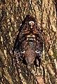 Greater Death's Head Hawk Moth Acherontia lachesis by Dr. Raju Kasambe DSCN8877 (9).jpg