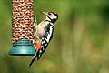 Greater Spotted Woodpecker - RSPB Sandy - Explored -) (9540346976).jpg