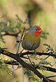 Green-winged Pytilia, Pytilia melba, at Pilanesberg National Park, Northwest Province, South Africa (28370116302).jpg