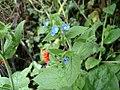 Green Alkanet - Pentaglottis sempervirens - geograph.org.uk - 1166289.jpg
