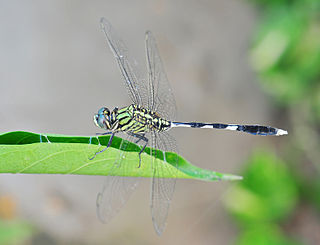 Green Marsh Hawk (Orthetrum sabina), Burdwan, West Bengal, India 22 09 2012.JPG