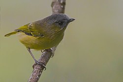 Green Shrike Babbler Khangchendzonga National Park West Sikkim Sikkim India 30.10.2015.jpg