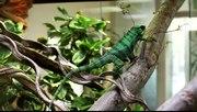 File:Green chameleon.ogv