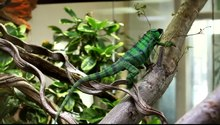 File:Green chameleon.ogv