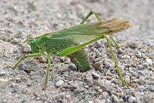 Green grasshoper laying eggs in the ground..jpg