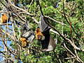Grey-headed Flying-foxes.jpg
